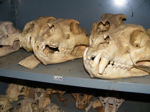 Livingstone Museum Research - Mammalogy
